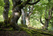 Baum Alte Buche mit Wurzeln